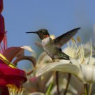 Rubythroated Himmingbird