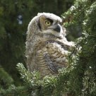 Great Horned Owlet - 5 weeks old