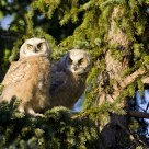 Great Horned Owlets at Sunset