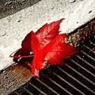 Symbolic Fall - The Red Maple Leaf