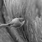 Bird on Pine