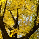the Golden Ginkgo