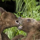 Sparring Bear Cubs