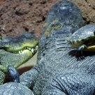 Turtle on Crocodile