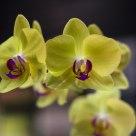 Bokeh Orchids
