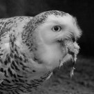 Snowy owl feeding on chick I (infrared B&W)