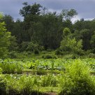 Kenilworth Aquatic Gardens before rain