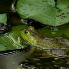 Frog on lilly pads #6