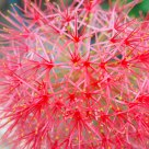 Explosion of Blood Lily