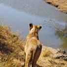 Savanna Lioness