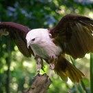 Elang (Eagle)