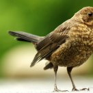 Brown Blackbird