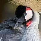 Gru grigia coronata