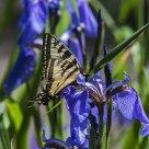 Butterfly on Iris