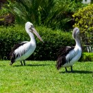 Marching Pelicans