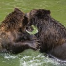 Bear cubs in pool