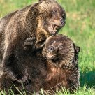 Grizzly Bear Mating Behaviour #1