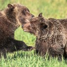 Grizzly Bear Mating Behaviour #3
