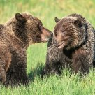 Grizzly Bear Mating Behaviour #4