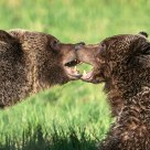 Grizzly Bear Mating Behaviour #5