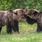 Grizzly Bear Mating Behaviour #2
