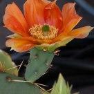 Opuntia Blossom