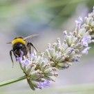 bumblebee  in lavendel 2