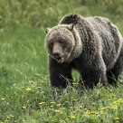Grizzly in Dandelion Patch