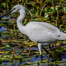Cacciando con movimenti lenti - Hunting with slow motions - Garzetta - Egret
