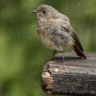 Codirosso  -Redstart