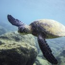Honu in flight