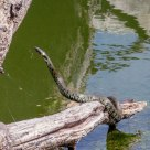 Grass Snake climbing out of the water