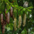 Vita sull'abete 1 - Life on the fir tree 1 - Fringuello - Finch - Fringilla Coelebs