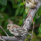 Coppia di Fringuelli - Couple of Finch - Fringilla Coelebs