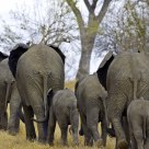 Line of Elephants