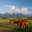 Horses in front of the Grand Teton