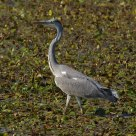 Airone Cinerino - Grey Heron