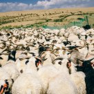 Sea of sheep