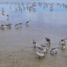 Sandpipers at Ogunquit Beach