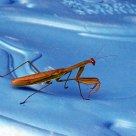 Mantis on Blue
