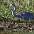 Prima Carica - First Charge (Airone Cinerino - Grey Heron)