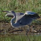 Carica Finale - Final Charge (Airone Cinerino - Grey Heron)