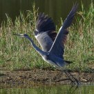 Salto e Decollo - Jump and Take-Off (Airone Cinerino - Grey Heron)