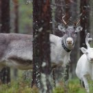 Father and son? Reindeer in forestin Laponia