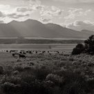 Cattle Drive #12