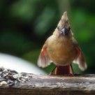 Hungry Baby Cardinal