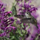 Immature Male Calliope Hummingbird