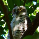 猛鹰鸮--Powerful Owl