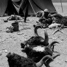 GRAZING LIFE OF TIBETAN