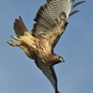 Nov. Red-tail